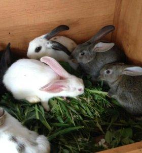 Кролики 1,6 мес