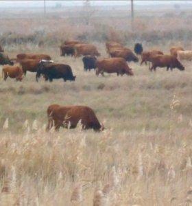 Коровы и телки