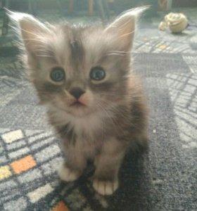 Котенок курильский бобтейл
