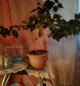 Роза кетайская