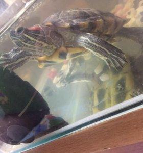 Черепаха(с аквариумом 30 л,фильтр,водонагреватель)