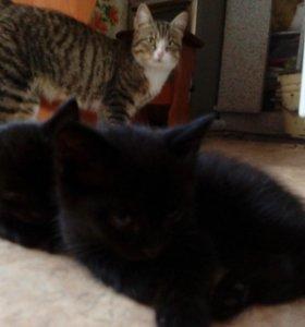 Отдам в хорошие руки котят две черненькие кошечки