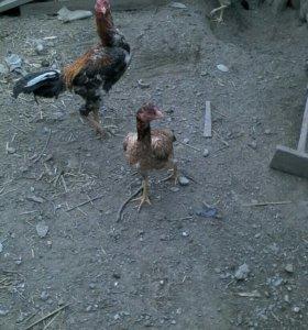Индоутка с утятами и бойцовые куры есть и цыплята
