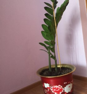 Цветок Замиоулькас-доллар. дерево.
