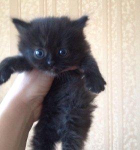 Кошка- шоколадка в добрые руки