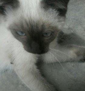 Сиамские котик