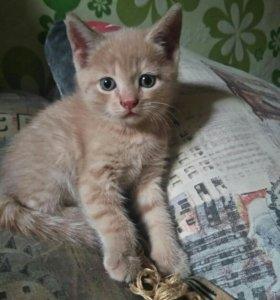 Британский, рыжий кот, полосатый