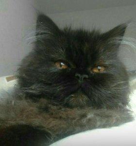 Пушистый котик, породистый