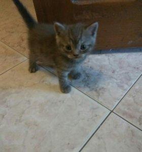 Котик породы шотландский скотиш-страйт