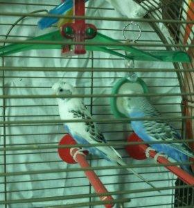 Волнистые попугаи. Мальчик и девочка
