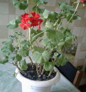 Продам комнатные цветы