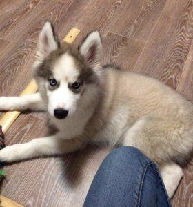 Подрощеный щенок сибирской хаски