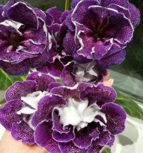 Глоксиния сортовая фиолетовый ситец