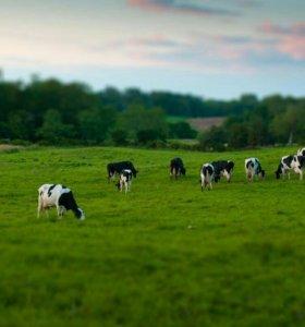 Продаю молоко коровье