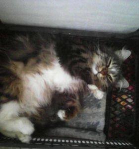 Кошка сибирская крысоловка