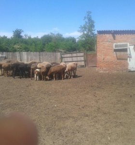 Продаю баранов и овец курдючной породы 39 голов.