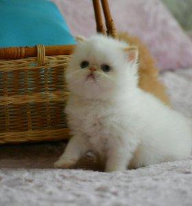 Котята персидские,экзотические