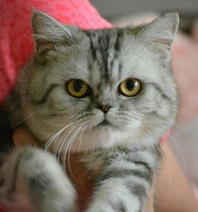 Котик экзот окрас вискас