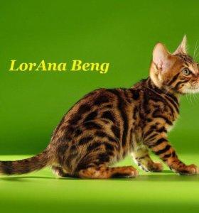 Бенгальские котята от заводчика