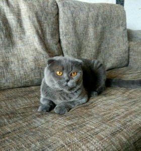 Вязка с шотладским котом;)