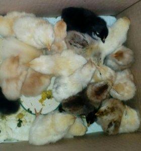 очень очень Срочно!!!! Продам цыплят!!! 8 дней