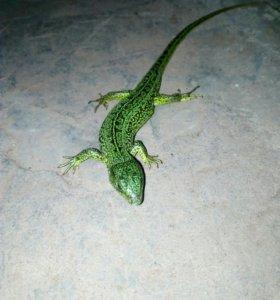 Ящерицы зелёная