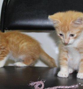 Котята в добрые руки, котята в дар Рыжики