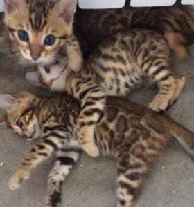 Продам бенгальских котят,