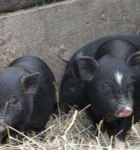Свиньи вьетнамские вислобрюхие