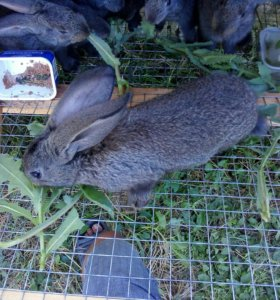 Кролики белгискй великан