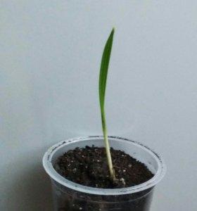 Ростки финиковой пальмы