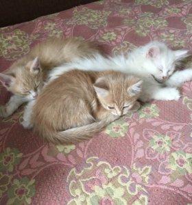 Котята, 2 девочки и 1 мальчик
