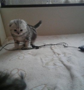 Шотландские котята вислоухие