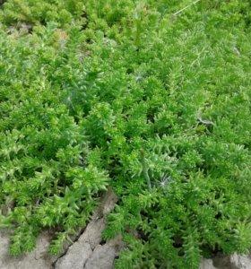 Седум декоративная трава