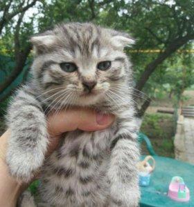Продам котенка шотландская-вислоухая