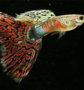Гуппи мозайка (самцы)