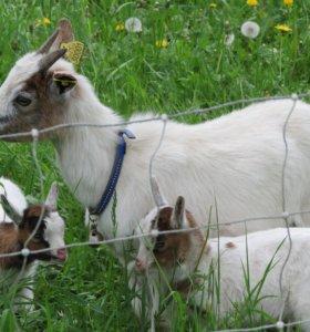 Продаются козы.