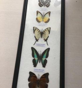 Каликцыоные бабочки