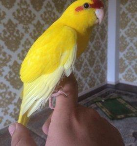 Попугай какрик