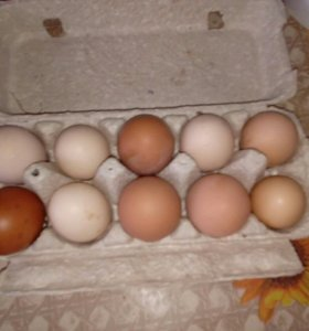 Куриное пищевое яйцо