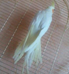 Попугай кореллы