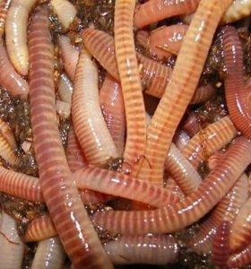 Дендробена черви для рыбалки
