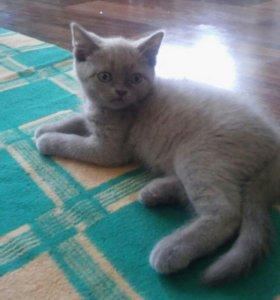 Продается британский котик.