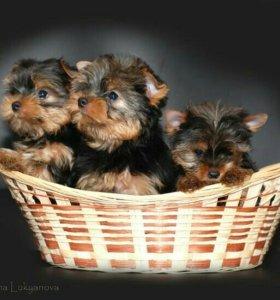 Продаются щенки йорки