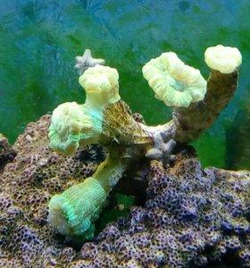 Коралл для моря