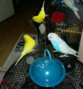 Пара попугайчиков с клеткой и всеми аксессуарами