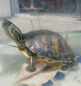 Желтоухая черепаха.