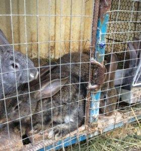 Кролики помесные