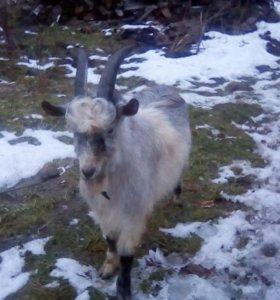 Осиминит козу