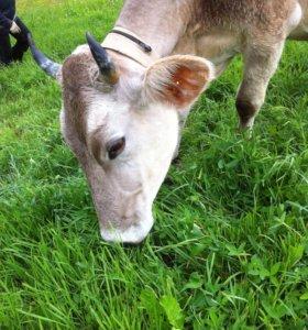 Корова швец
